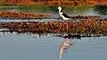 Black-winged Stilt (29856172231).jpg