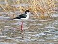 Black-winged Stilt (Himantopus himantopus) (33755982284).jpg
