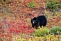 Black Bear -- Lake Louise Upper Gondola Terminal Alberta (CA) September 2019 (50091202456).jpg