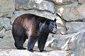 Black Bear in the Pittsburgh Zoo.jpg