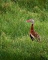 Black Bellied Whistling Duck Aransas Nwr Texas (30496263).jpeg