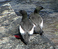 Black Guillemots, Elliston.jpg