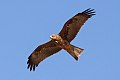 Black Kite (Milvus migrans) (8079585185).jpg