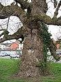Black Poplar, Newtown, Powys - geograph.org.uk - 567320.jpg