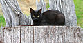 Black barn cat - Public Domain.jpg