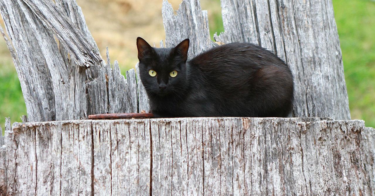 Black Cat Barn Owl