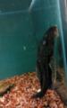 Black fish in bangalore aquarium, india.png