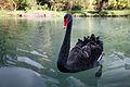 Black swan (3340880505).jpg