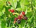 Blackberries, Dundrum - geograph.org.uk - 932155.jpg