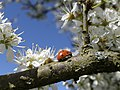 Blackthorn and ladybird (5600566075).jpg
