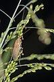 Blattodea (29989613944).jpg