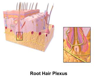 Hair plexus - Hair plexus.