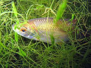 https://upload.wikimedia.org/wikipedia/commons/thumb/a/a1/Blausteinsee_Tierwelt_03.jpg/290px-Blausteinsee_Tierwelt_03.jpg