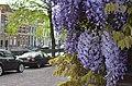 Blauweregen in Rapenburg Nieuwsteeg, Leiden 2018 4.jpg