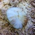 Bleaching Mushroom Coral.jpg