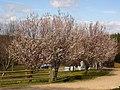 Blossom^ - geograph.org.uk - 370844.jpg