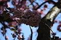 Blossom - St Leonards, Exeter (3457250472).jpg