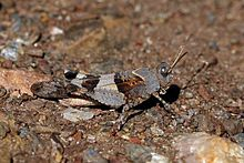 Blue-winged grasshopper (Oedipoda caerulescens) male.jpg