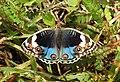 Blue Pansy Junonia orithya swinhoei by Dr. Raju Kasambe DSCN0894 (3).jpg