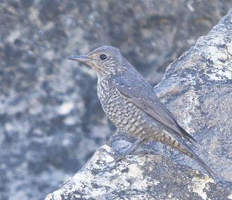Blue rock thrush - female at Kutch