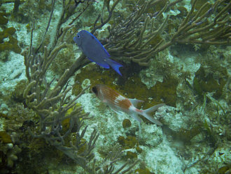 A Blue Tang and a Squirrelfish in Princess Alexandra Land and Sea National Park, Providenciales Blue Tang and Squirrelfish.jpg