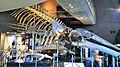 Blue Whale's Skeletal specimen in Shimonoseki Aquarium KAIKYOKAN with Tursiops truncatus, and Mesoplodon stejnegeri.jpg