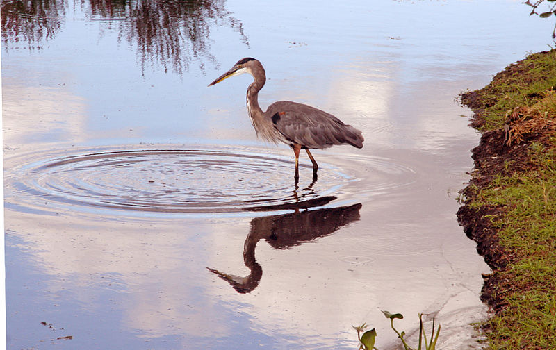 File:Blue heron.jpg