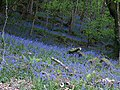 Bluebells, Netton Cleave Wood - geograph.org.uk - 1299674.jpg