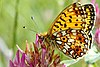 The small pearl-bordered fritillary butterfly