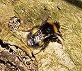 Bombus pratorum . Early Bumble Bee - Flickr - gailhampshire (3).jpg
