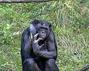 Bonobo en el Zoo de Cincinnati, mayo de 2005