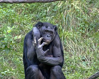Pan (genus) - Bonobo
