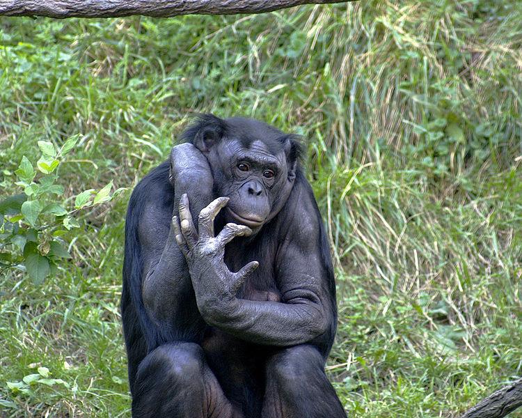 750px-Bonobo_009.jpg