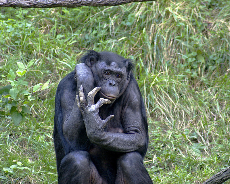 https://upload.wikimedia.org/wikipedia/commons/thumb/a/a1/Bonobo_009.jpg/800px-Bonobo_009.jpg