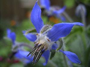 Borago - Borago officinalis flowers