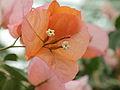 Bougainvillea × buttiana-IMG 4539.jpg