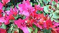 Bougainvillea glabra of Bangladesh 14.jpg