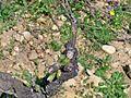 Bougeon vigne enclos des papes.jpg