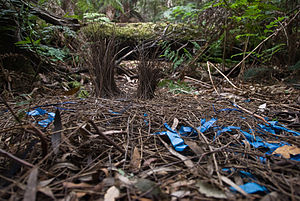 Brown Mountain forest - The bower of a bowerbird in Brown Mountain forest