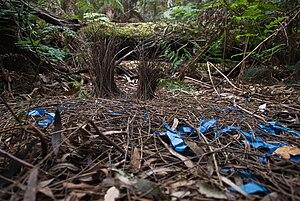 David Attenborough's Life Stories - A bower bird's bower