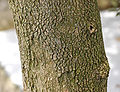 Boxwood Buxus sempervirens var. arborescens Bark 2597px.jpg