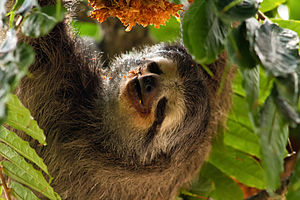 Pale-throated sloth - In Venezuela