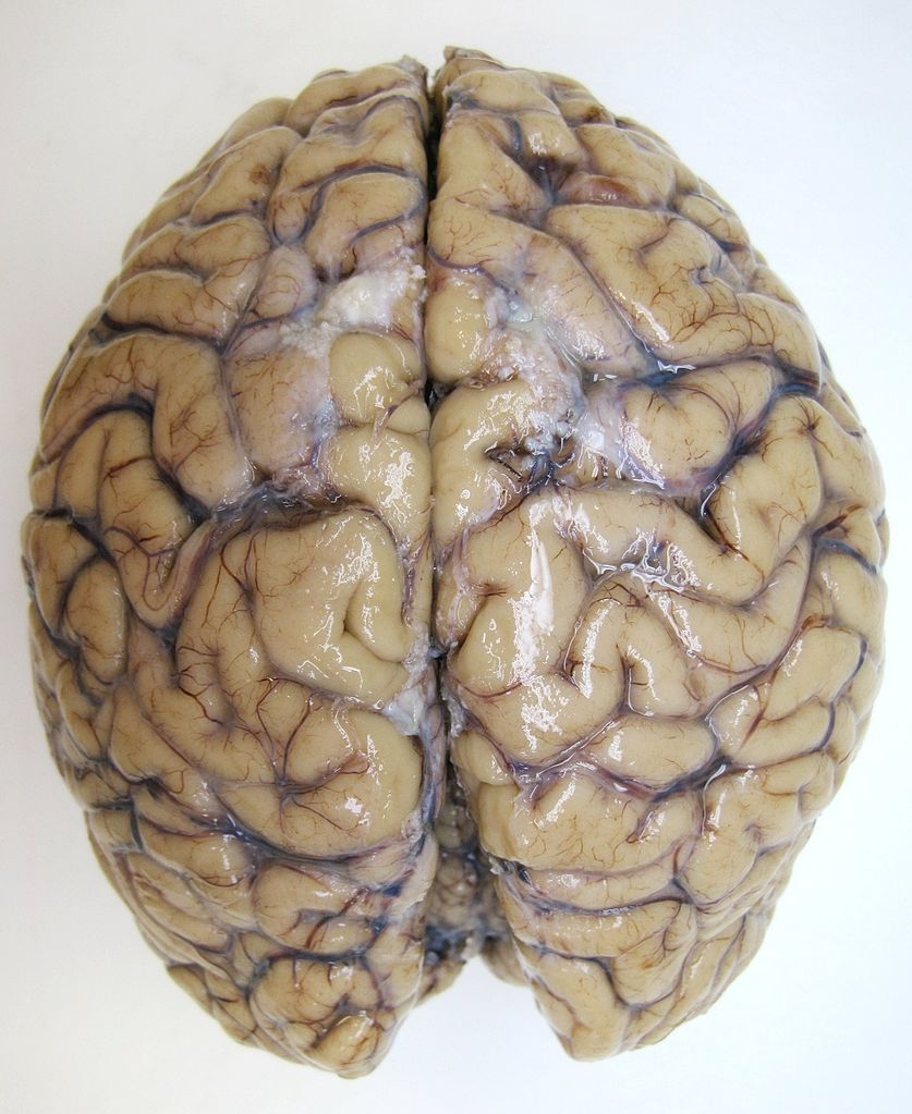 how to draw a brain top view