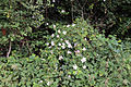 Brambles and nettles in field hedge west from All Saints' churchyard.JPG