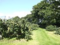 Bramley orchard, Cranagill - geograph.org.uk - 592236.jpg