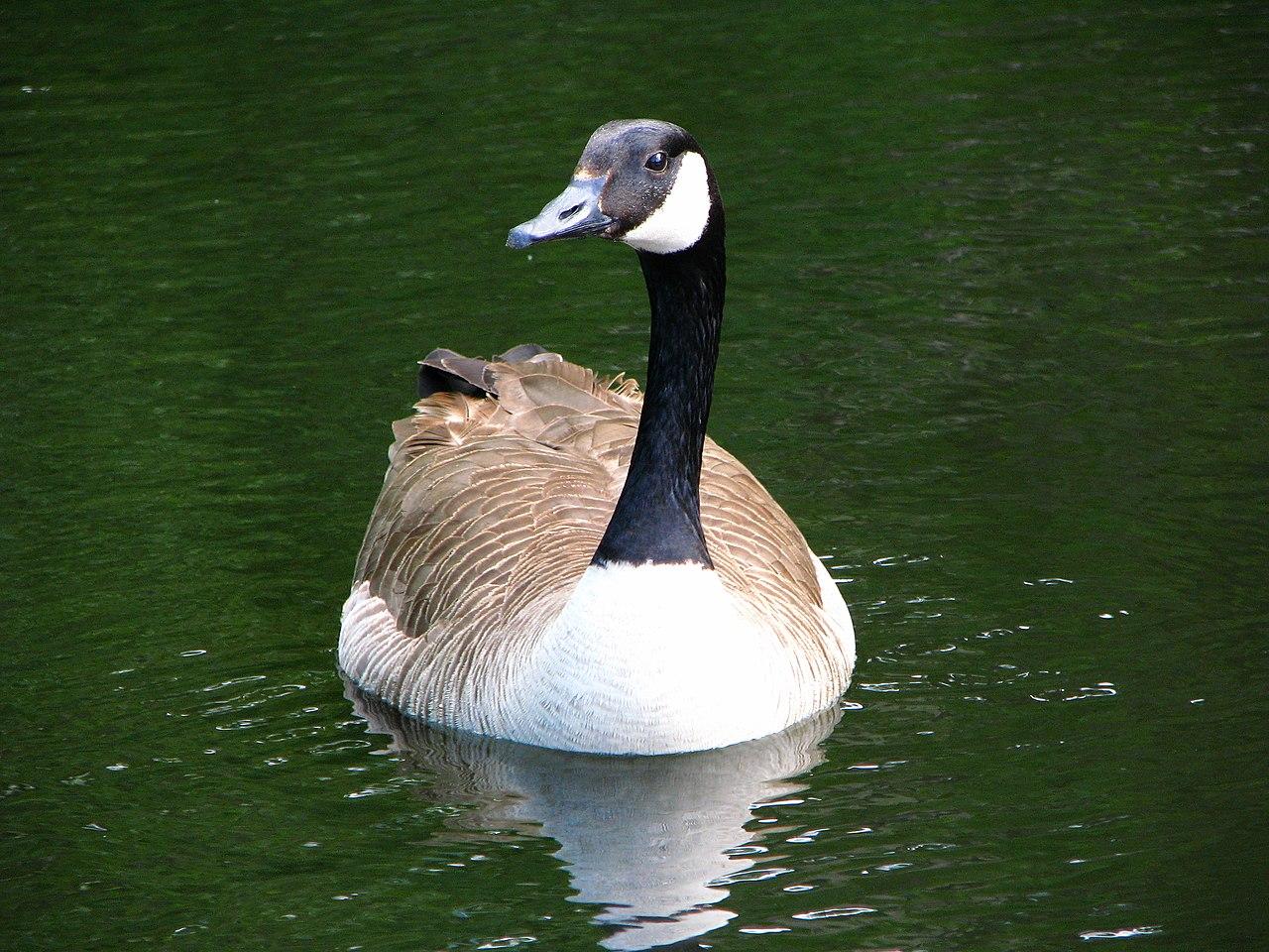 गूज Goose
