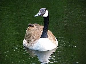 Branta - A Canada goose (Branta canadensis) swimming at Smythe Park, Toronto, Ontario, Canada