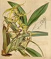 Brassia lanceana.jpg