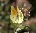Brimstone about to take off (3837626480).jpg