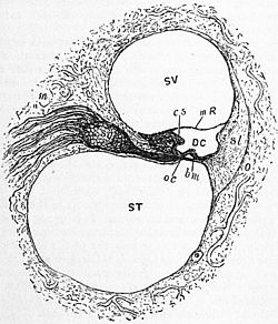 Britannica Ear 4.jpg
